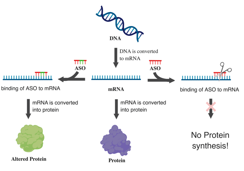 diagram showing how ASOs can bind or snip mRNA to create alternative forms of protein or prevent protein synthesis