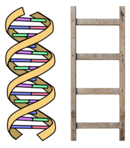 Cartoon drawing of DNA moleculue next to an image of a ladder