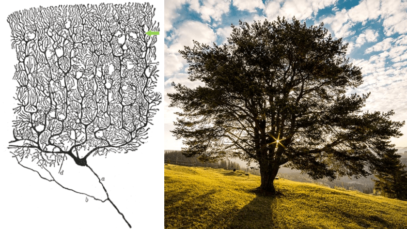 Left, drawing of purkinje neuron. Right, image of a tree