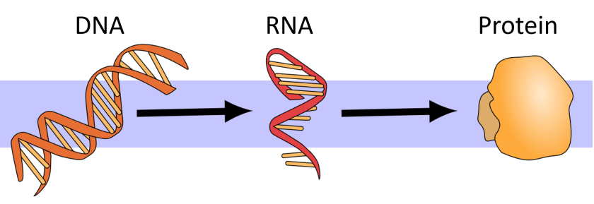 "The ""central dogma"" of molecular biology: DNA makes RNA, then RNA makes protein."