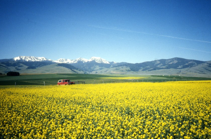 Canola field with snowcapped mountains in the background, July 1990