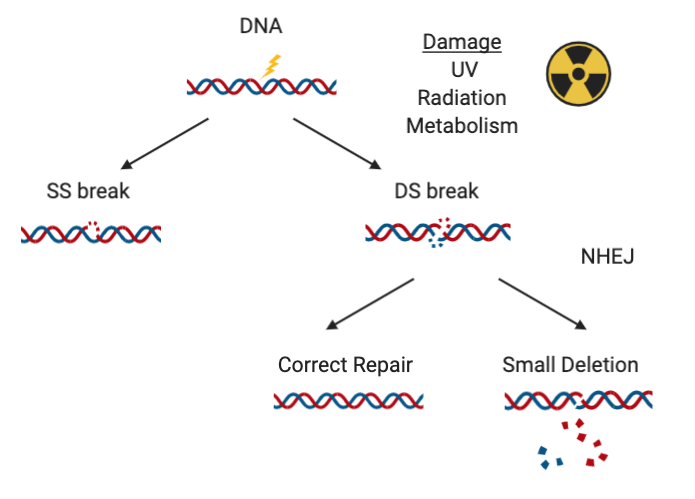 """How NHEJ can repair DNA.  DNA damage cuses either a single stranded or double stranded break. If it is a double stranded break, then NHEJ can """"correct"""" the damage, but dome genetic information will be lost."""