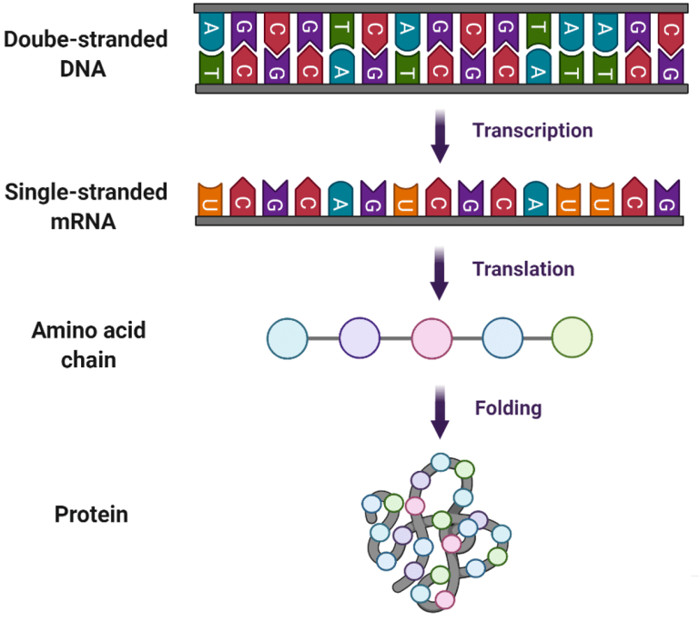 DNA is the instructions to make mRNA, which makes amino acid chains that come together to make protiens which build our bodies.