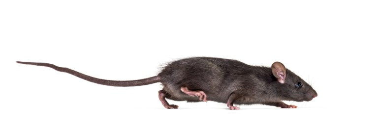 Black rat walking in front of white background
