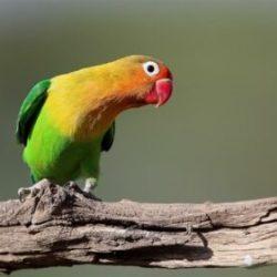 Cara Membuat Lovebird Ngekek Panjang