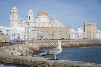 A gull watching in Paseo Campo del Sur (Cadiz Cathedral called Old Cadiz Cathedral or Church of Santa Cruz). Cadiz. Andalusia Spain
