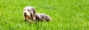 Beardie in long grass