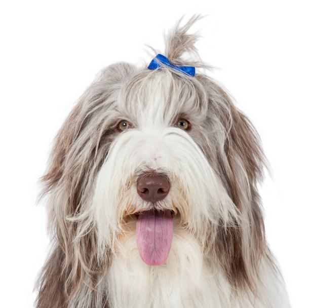 Beardie face with hair clip