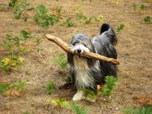 Beardie carrying large stick