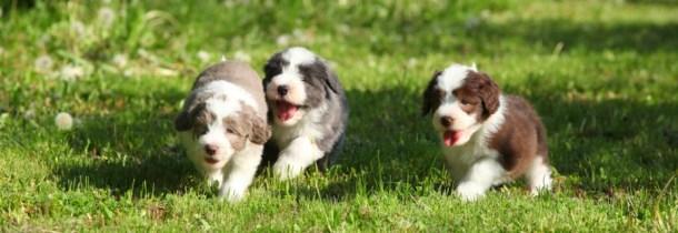 Three Beardie puppies running