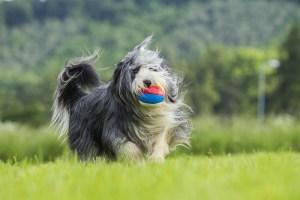 Beardie with ball