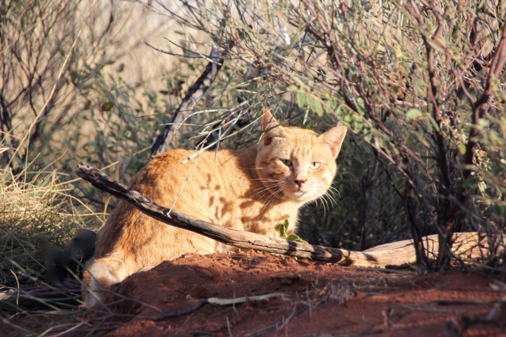 One of Tim's research interests - management of invasive predators such as this feral cat (Felis catus). Photo: Tim Doherty