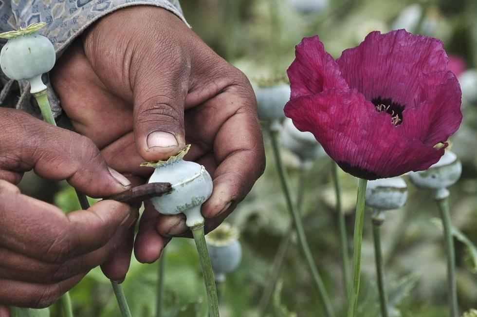 A man lances a poppy bulb to extract the sap, which will be used to make opium, at a field in the municipality of Heliodoro Castillo, in the mountain region of the state of Guerrero January 3, 2015. According to local media, 42% of the poppies produced in Mexico come from the state of Guerrero, where impoverished farmers in the mountain cultivate opium poppies as cash crop due to the extreme poverty in where they live. Picture taken January 3, 2015. REUTERS/Claudio Vargas (MEXICO - Tags: DRUGS SOCIETY POVERTY AGRICULTURE)