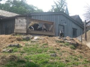 8. Riverdale Farm goats