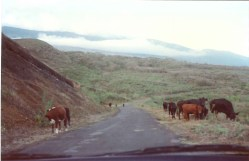 In Maui, Cattle roam free atop the Haleakala Crater