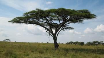 Acacia tortulis