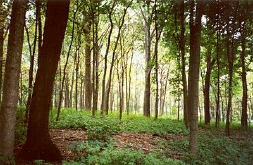 Morton_Arboretum_woodland