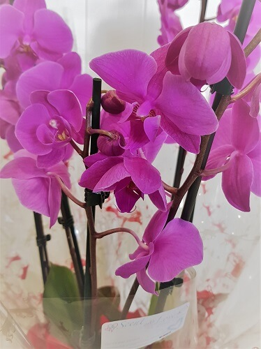 Deluxe Festive Orchid