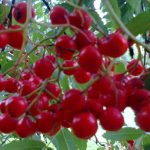 Brilliant red rowan berries, a symbol for Scottish grassroots activism? Picture by Molly Bones CC By-NC-ND 2.0