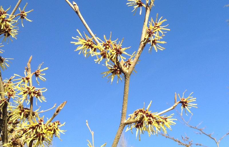 Winter-flowering spikes of Witch Hasel, yellow against a blue sky: photo Fay Young