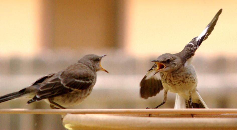 Two birds squawking loudly at each other