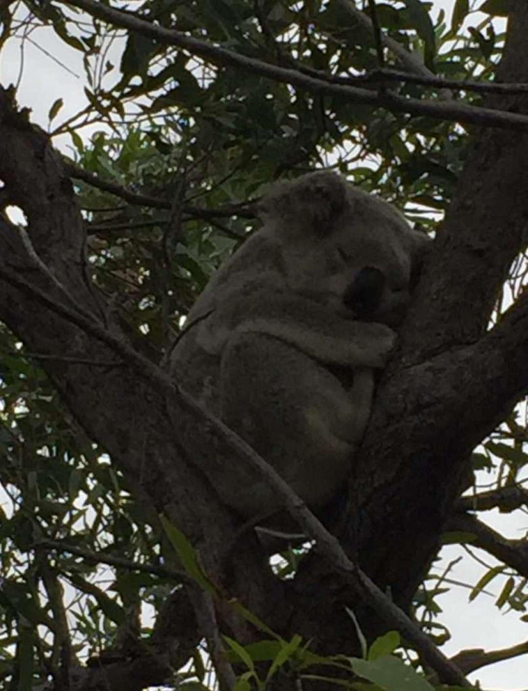 Koala sleeping in a tree next to the track.