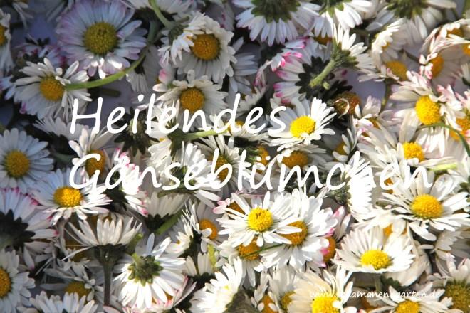 Heilkraft Gänseblümchen, Heilkraft