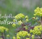 Heilpflanze Wolfsmilch