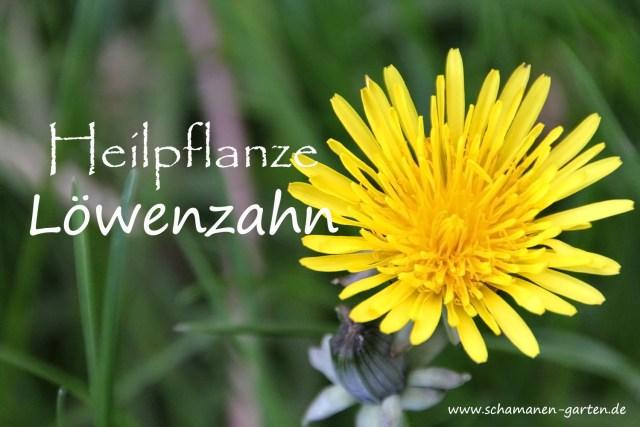 Heilpflanze Löwenzahn, Blüte