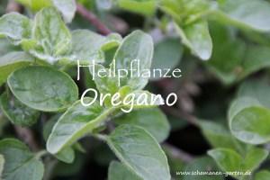 Heilpflanze Oregano