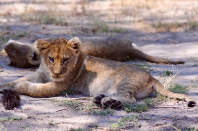 13.11. Löwensuche