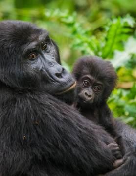 shutterstock 355160699 - Uganda & Ruanda - Auf den Spuren der Berggorillas