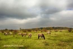 Eine Herde wilder Pferde ...