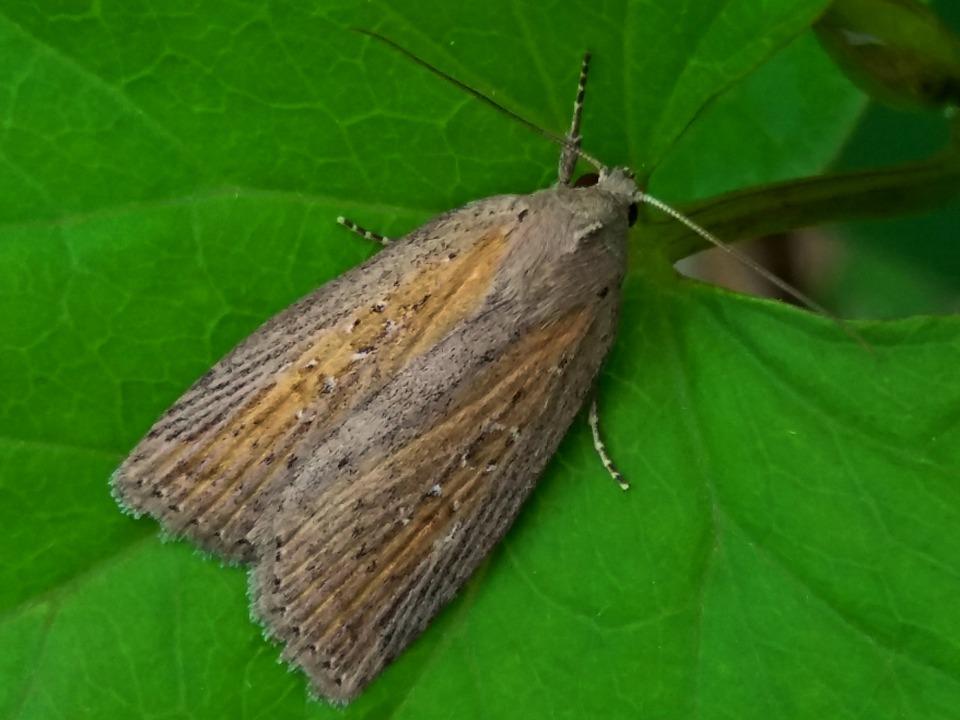 mysterievlinder-verdonkerd