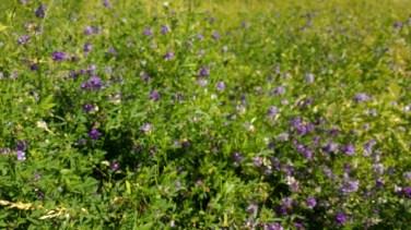 Voederwikke (Vicia sativa)