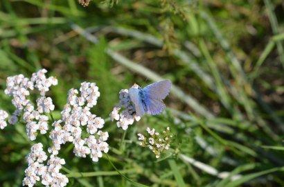 Icarusblauwtje - Polyommatus icarus