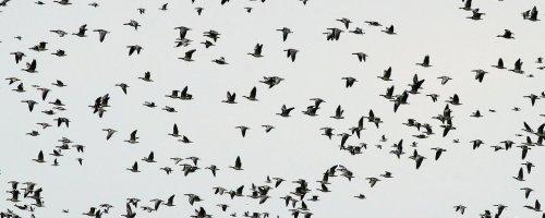 Hoe vinden trekvogels de weg?