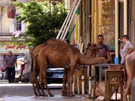 Kamele für die Reichen