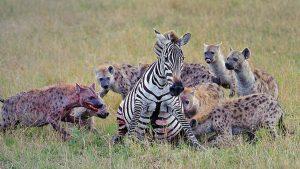 Hyæner jager