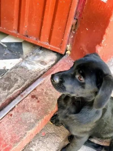 Pups of Peru| Cusco