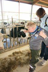 Maik hat keinerlei Angst und erkundet ausgiebig den Kopf der Kuh