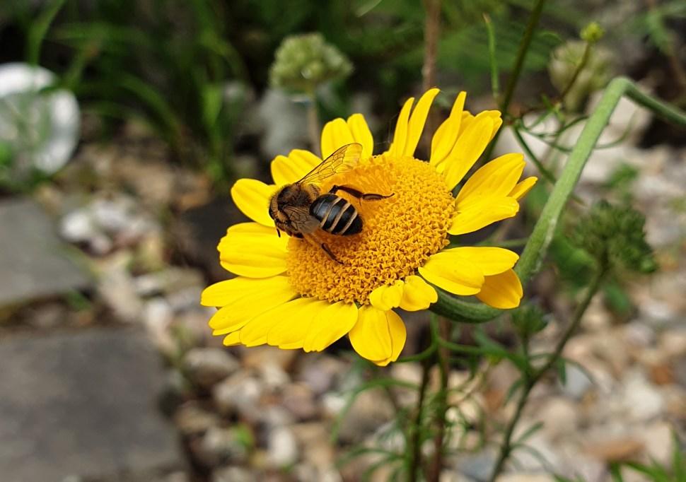 Die richtigen Pflanzen für Bienen gehören in jeden Garten und auf jeden Balkon.