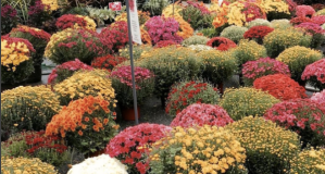 Fall Mums Blooming