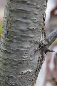 Dicranopalpus ramosus  (4)