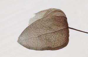 Lampion Blume) (1)