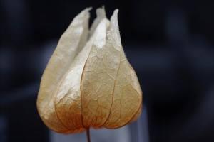 Lampion Blume) (5)
