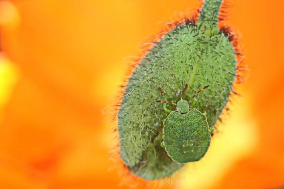 Palomena prasina - Grüne Stinkwanze  (8)