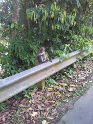 Pulau Ubin Monkeys Eating