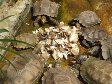 Cameron Highlands Butterfly Farm - Tortoise