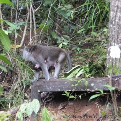 Shangri-La's Nature Reserve - Orang Utan - Macaque and Baby